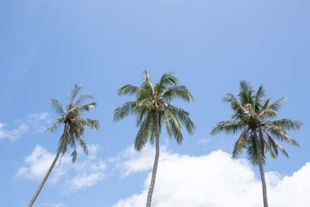 Photo pour Three coconut palm trees with blue sky and white cloud in background. - image libre de droit