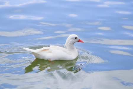 Swimming white duck on sunny day.