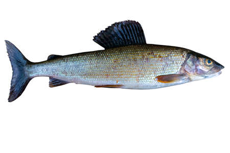 Foto de Arctic grayling fish isolated on white background. Freshwater fish. Amazing sports fish. - Imagen libre de derechos