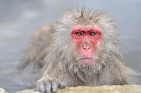 Monkey in a natural onsen  hot spring , located in Snow Monkey, Nagono Japan