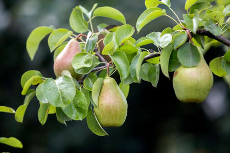 Foto für Close-up bunch of beautiful green pears hanging ripening on tree branch with green leaves lit by bright summer sun on blurred bokeh dark gray contrast background. Agriculture and gardening concept. - Lizenzfreies Bild