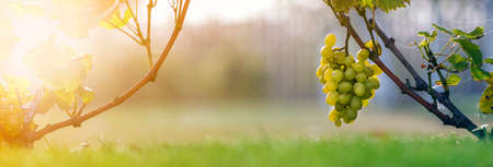 Foto de Close-up of growing young vine plants tied to metal frame with green leaves and big golden yellow ripe grape clusters on blurred sunny colorful bokeh background. Agriculture and gardening concept - Imagen libre de derechos