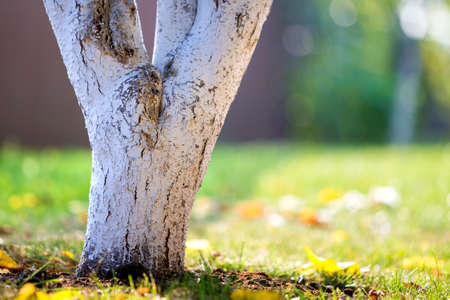 Photo for Whitewashed bark of tree growing in sunny orchard garden on blurred green copy space background. - Royalty Free Image