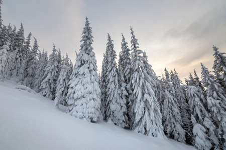 Photo for Beautiful winter mountain landscape. Tall spruce trees covered with snow in winter forest and cloudy sky background. - Royalty Free Image