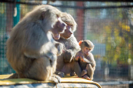 Baboon monkeys in a zoo on sunny day.