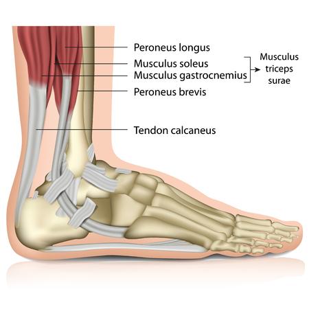 Illustration pour Triceps surae ankle joint 3d medical vector illustration - image libre de droit