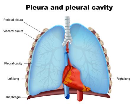 Illustration pour Lung pleural and pleural cavity medical vector illustration on white background - image libre de droit