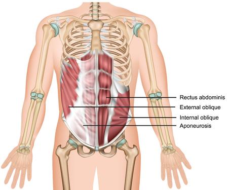 Illustration pour External oblique muscle 3d medical vector illustration abdominal muscle - image libre de droit