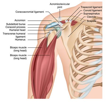 Illustration pour Shoulder anatomy 3d medical vector illustration with arm muscles - image libre de droit