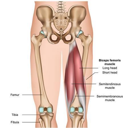Illustration pour hamstring muscle anatomy 3d medical vector illustration on white background - image libre de droit