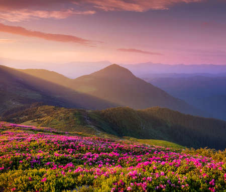 Photo pour Mountains during flowers blossom and sunrise. Flowers on mountain hills. Natural landscape at the summer time. Mountains range. Mountain - image - image libre de droit