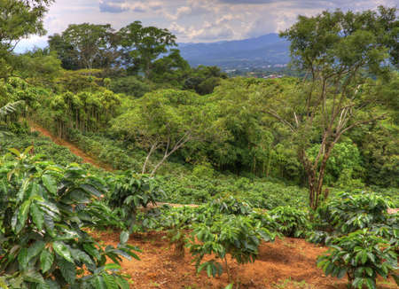 Small coffee plantation on a hillside in Costa Rica.