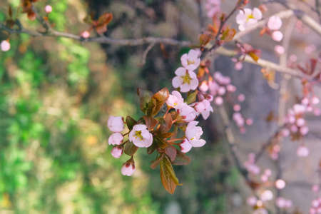Photo pour Apricot flowers blooming with light bright petals. Greeting card for Womens day. Spring blurred background of nature, pink color. - image libre de droit