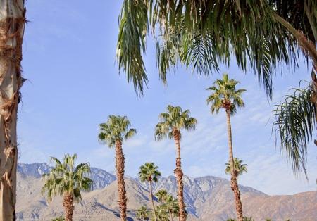 Fan Palms Trees Palm Springs California washingtonia filifera
