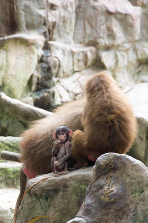 Very cute baby hamadryas baboon sitting behind her parents while looking at somewhere