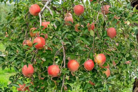Photo for Delicious fuji apples in Japanese orchard. - Royalty Free Image