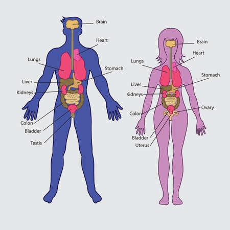 Basic human internal organs vector