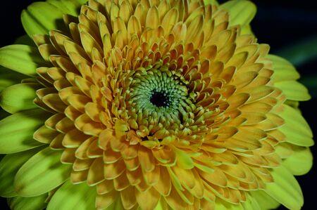 Photo pour a very pretty yellow gerbera close up - image libre de droit
