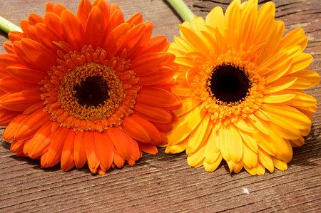 Foto de very pretty colorful gerber flower close up - Imagen libre de derechos