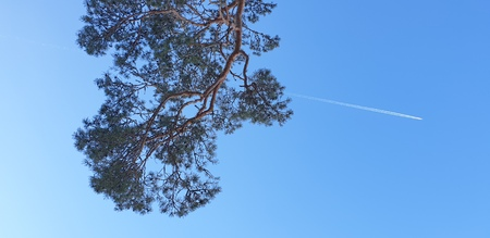 plane and a tree branch. Pine branch and plane. Flying a plane in the blue sky.