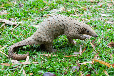 Photo pour Java Pangolin (manis javanica) on green grass. It was smuggled in Asia. Because it is popularly consumed and its scales are an ingredient in Chinese medicine. Wildlife crime. - image libre de droit