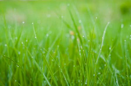 Photo pour Green grass with dew drops. - image libre de droit