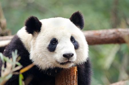 Photo pour Resting Giant Panda - Sad, Tired, Bored looking Pose. Chengdu, China - image libre de droit