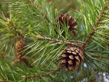 Pine cones on the tree