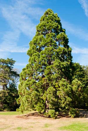 Giant sequoia in Bagatelle gardens, Paris