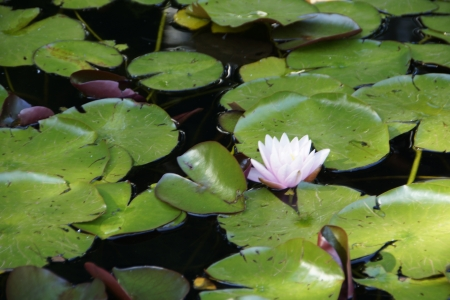 A water lily (Nymphaea) in P
