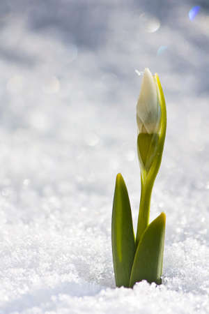 The first Snowdrop of the year