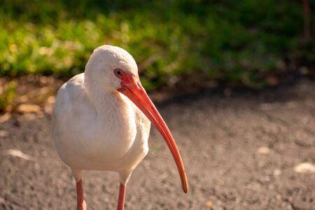 Photo pour A Shot of a Male American White Ibis - image libre de droit