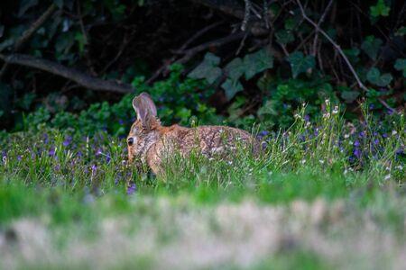 Photo pour An Eastern Cottontail Rabbit on a Green Front Lawn With Bushes Behind It - image libre de droit