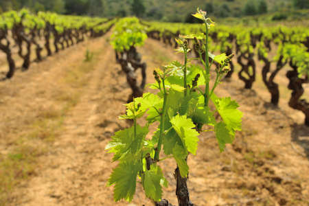 Vines in the Languedoc region during spring, France