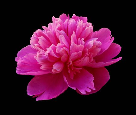 Photo pour Beautiful pink peony isolated on a black background - image libre de droit