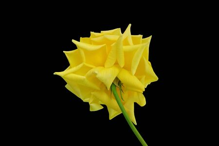 Photo for Beautiful yellow rose isolated on a black background - Royalty Free Image
