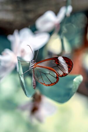 Glasswing Butterfly (Greta oto) in a summer garden