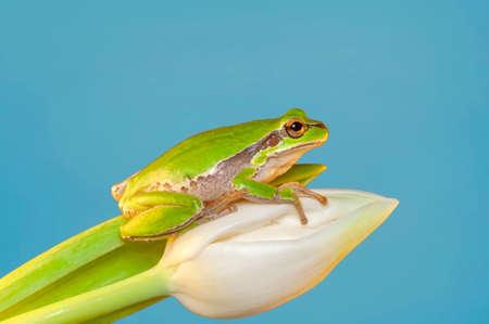 Photo pour Beautiful Europaean Tree frog Hyla arborea - image libre de droit