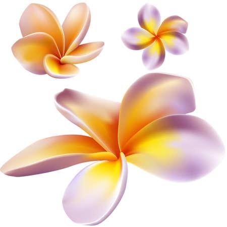 Illustration pour Frangipani flowers  - image libre de droit