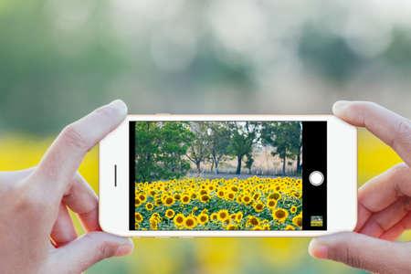 Photo pour close up hand use phone mobile taking sunflower field photo - image libre de droit