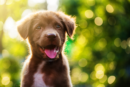 Photo for Portrait of Cute Brown nova scotia duck tolling retriever puppy dog against bokeh background - Royalty Free Image