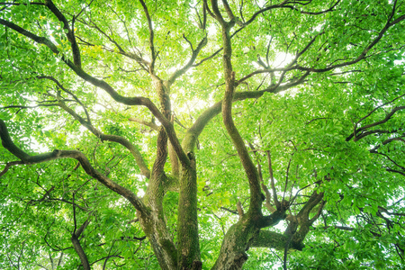 Foto de Tree, Forest, Camphor tree, Ecology, Fresh green. - Imagen libre de derechos