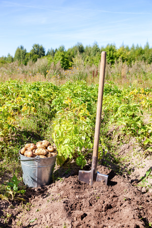 First harvest of organically grown new potatoes in sunny day
