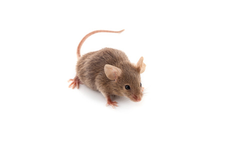 Small mouse isolated on a white background: Royalty-free images ...