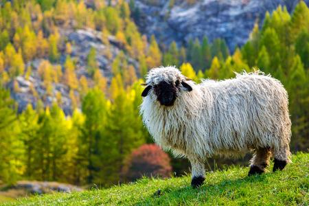 Foto de Swiss Alps and Valais blacknose sheep nest to Zermatt  in Switzerland - Imagen libre de derechos