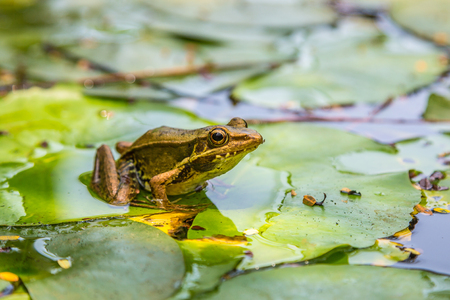 Photo pour Frog sitting on the lily leaf in pond - image libre de droit