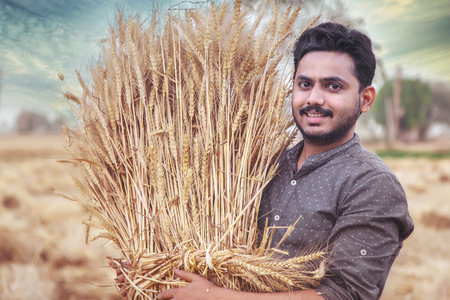 Photo pour Young Indian farmer holding harvested golden wheat crops on his shoulder - image libre de droit