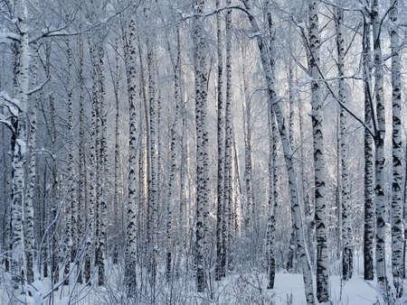 A sunbeam in a winter birch