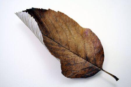 Dead leaf.