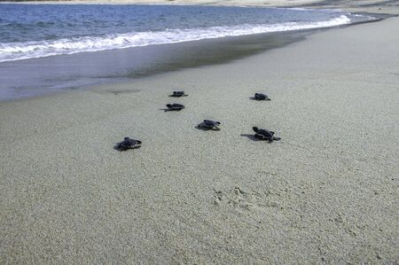 Photo pour Group of baby sea turtle release into ocean - image libre de droit